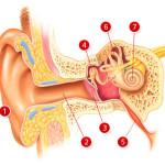 Ухо — слуховая система человека